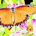 Tropical Queen Butterfly, Soldier Butterfly by A Gurmankin