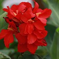 Tropical Red Canna Lilly by Leanne Matson