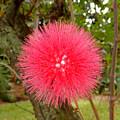 Tropical Red Puff by Robert Meyers-Lussier