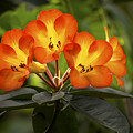 Tropical Rhododendron by Penny Lisowski
