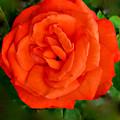 Tropicana  Rose by Debra     Vatalaro