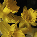 Trumpet Daffodils by Nancy Griswold