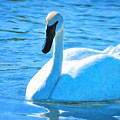 Trumpeter Swan Impressions by Greg Norrell