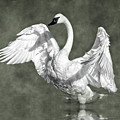 Trumpeter Swan In The Fog by Wes and Dotty Weber