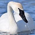 Trumpeter Swan by Larry Ricker