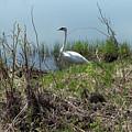 Trumpeter Swan by Linda Kerkau