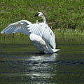 Trumpeter Swan On The Madison River by Sandra Bronstein