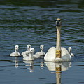 Trumpeter Swan With Cygnets by Ron Read