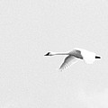 Trumpeter Swans In Flight by Craig Perry-Ollila