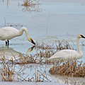 Trumpter Swans 8182 by Michael Peychich