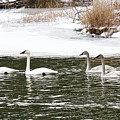 Trumpter Swans Panorama by Michael Peychich