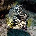 Trunkfish Portrait by Jean Noren
