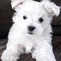 Tsheyka The Maltese Pup by BJ Redmond