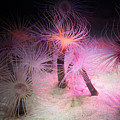 Tube Anemone by Deana Glenz