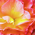 Tuberous Begonia  by Optical Playground By MP Ray