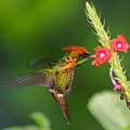Tufted Coquette by Marcus Gonzales