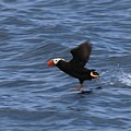 Tufted Puffin by Christy Pooschke