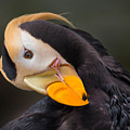 Tufted Puffin Preening by Em Witherspoon