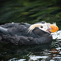Tufted Puffin by Robert Potts