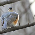 Tufted Titmouse 02 by Robert Hayes