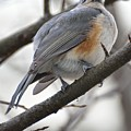 Tufted Titmouse 04 by Robert Hayes