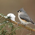 Tufted Titmouse by Alan Lenk