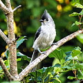Tufted Titmouse by Emily Kirouac