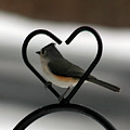 Tufted Titmouse In A Heart by George Jones