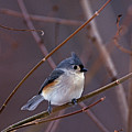 Tufted Titmouse In Winter by John Harmon