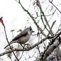 Tufted Titmouse by Norman Johnson