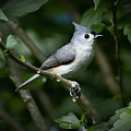 Tufted Titmouse by Patricia Montgomery