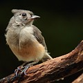 Tufted Titmouse by Paul Mays