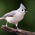 Tufted Titmouse by Phil Thach