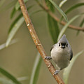 Tufted Titmouse by Phill Doherty