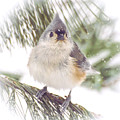Tufted Titmouse Snow Face by Kerri Farley