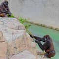 Tug-o-war Western Gorillas by TN Fairey