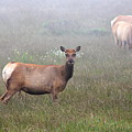 Tule Elk In Fog by Wingsdomain Art and Photography