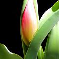Tulip 1 by Kume Bryant