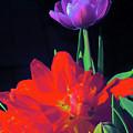Tulip 15 by Pamela Cooper