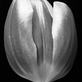 Tulip 2 by Jouko Lehto