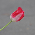 Tulip 3 by Rich Bodane