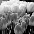 Tulip 33 by Ingrid Smith-Johnsen