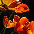 Tulip 38 by Pamela Cooper