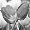Tulip 47 by Ingrid Smith-Johnsen