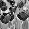 Tulip 84 by Ingrid Smith-Johnsen