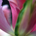 Tulip Abstract by Kathy Yates