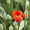 Tulip And Child by Serkan Yetim