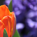 Tulip And Hyacinth by Karin Everhart
