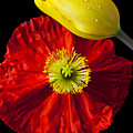 Tulip And Iceland Poppy by Garry Gay
