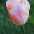 Tulip Apricot Beauty by Liz Leyden